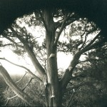 "Cedar tree, 8x10"" Platinum-palladium"